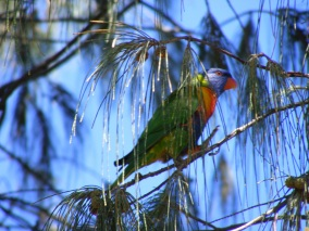 Rainbow Lorikeet Hiding 1