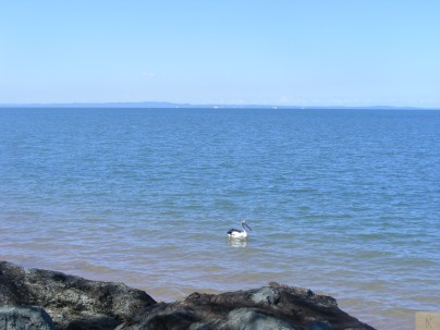 Pelican on Moreton Bay