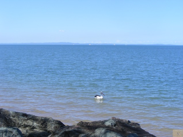 Pelican on Moreton Bay