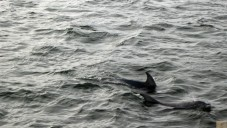 Dolphins in Lake Victoria