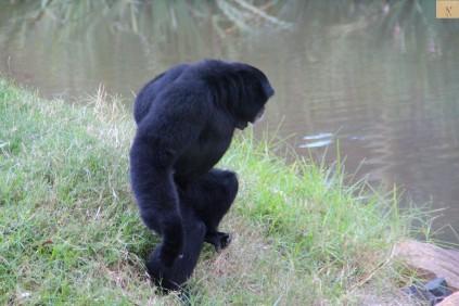 Siamang Ape