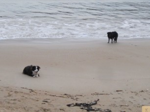 Port Campbell Bay Beach Dogs