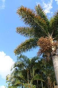 Foxtail Palm 2