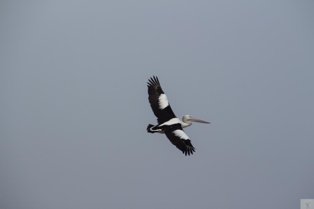 Pelican (1/5)
