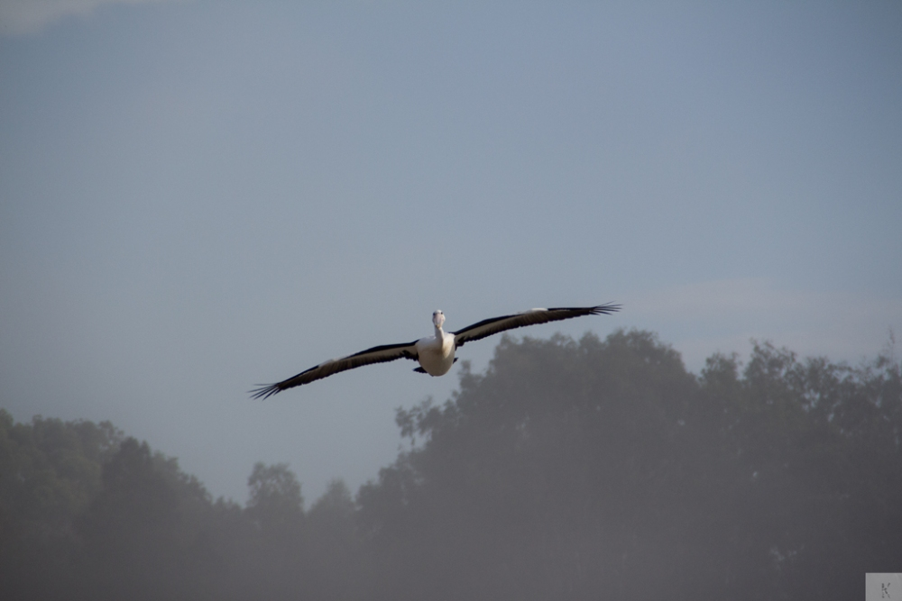 Pelican (3/5)