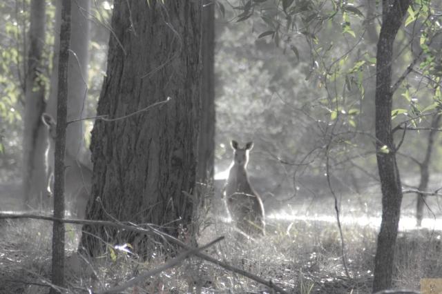 Kangaroo haze