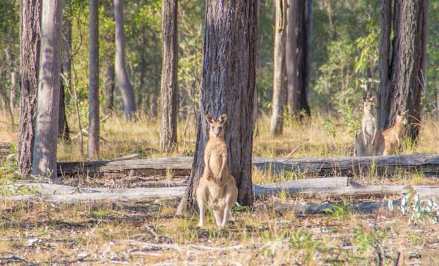 Kangaroo Mum
