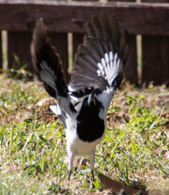 Butcher Bird
