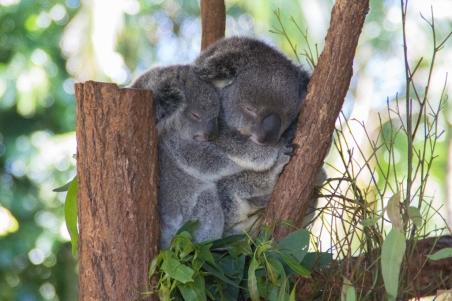 az-cuddling-koala