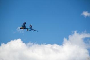 az-parrots-in-flight-2