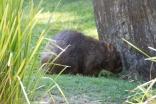 az-wombat