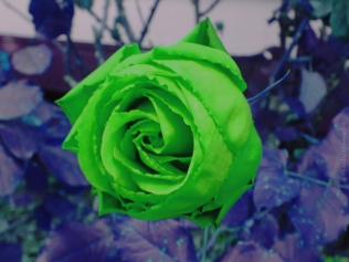 Rose Green